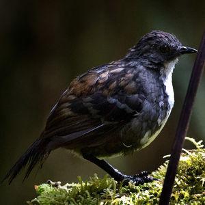 Orthonyx de Nouvelle-Guinée