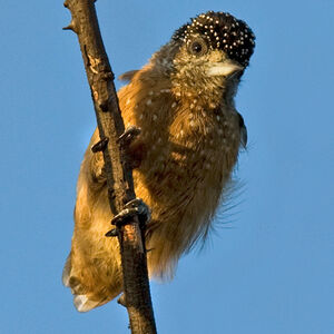 Picumne ocellé