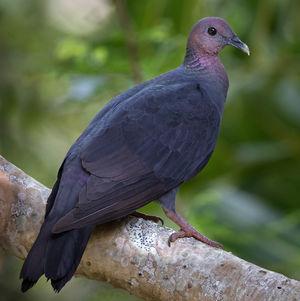 Pigeon violet
