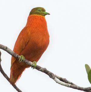 Ptilope orange