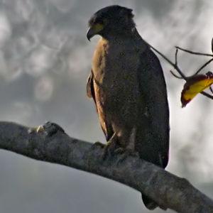 Serpentaire des Andaman