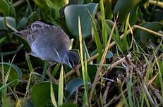 Marouette grise