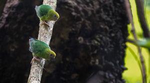 Micropsitte pygmée