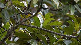 Monarque à poitrine noire