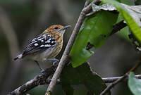 Myrmidon d'Amazonie