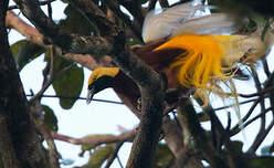 Paradisier petit-émeraude