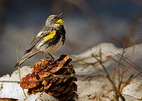 Paruline d'Audubon