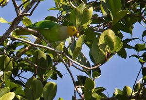 Perruche hétéroclite