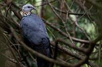 Pigeon cendré