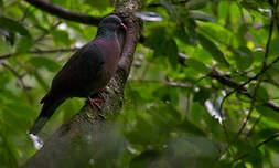 Pigeon de Bolle
