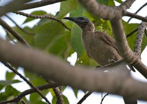 Polochion de Nouvelle-Guinée