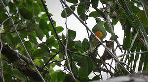 Ptilope à ventre orange