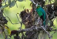 Quetzal doré