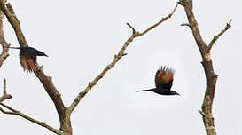 Rufipenne de forêt
