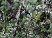 Toucan à bec noir
