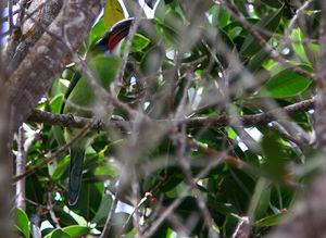 Toucanet à bec sillonné