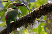 Toucanet à croupion rouge