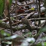 Fourmilier ocellé