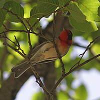 Paruline à face rouge
