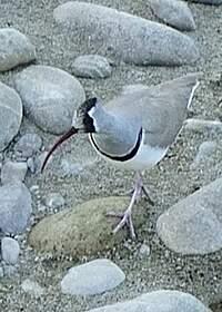 Bec-d'ibis tibétain