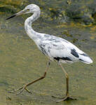 Aigrette bleue