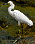 Aigrette neigeuse
