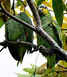 Amazone aourou