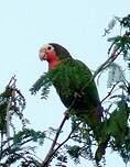 Amazone de Cuba