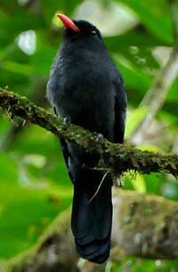 Barbacou noir