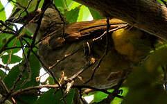 Bulbul goiavier