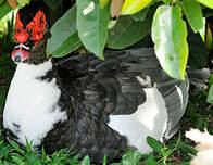 Canard musqué