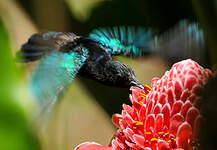 Colibri madère