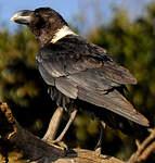 Corbeau à nuque blanche