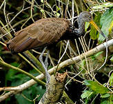 Courlan brun