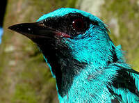 Dacnis bleu