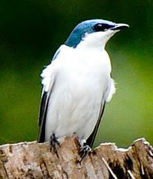 Hirondelle à ailes blanches
