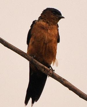 Hirondelle du Sri Lanka