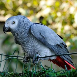 Perroquet jaco