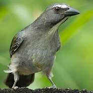 Saltator gris