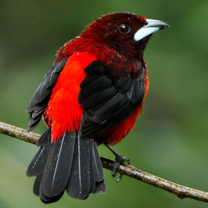 Tangara à dos rouge