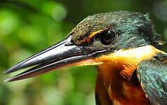 Martin-pêcheur bicolore