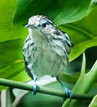 Myrmidon du Surinam