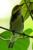 Paruline à gorge noire