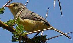 Phyllolaïs à ventre fauve