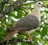 Pigeon rose