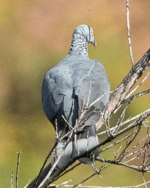 Pigeon trocaz