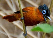 Tchitrec malgache