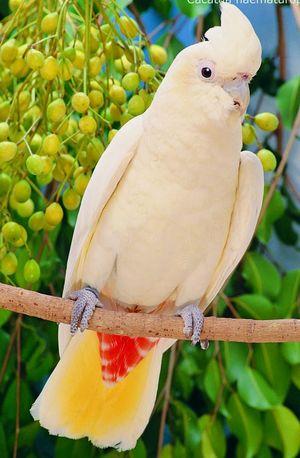 Cacatoès des Philippines