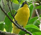 Organiste à gorge jaune
