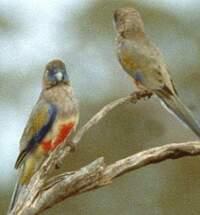 Perruche à bonnet bleu